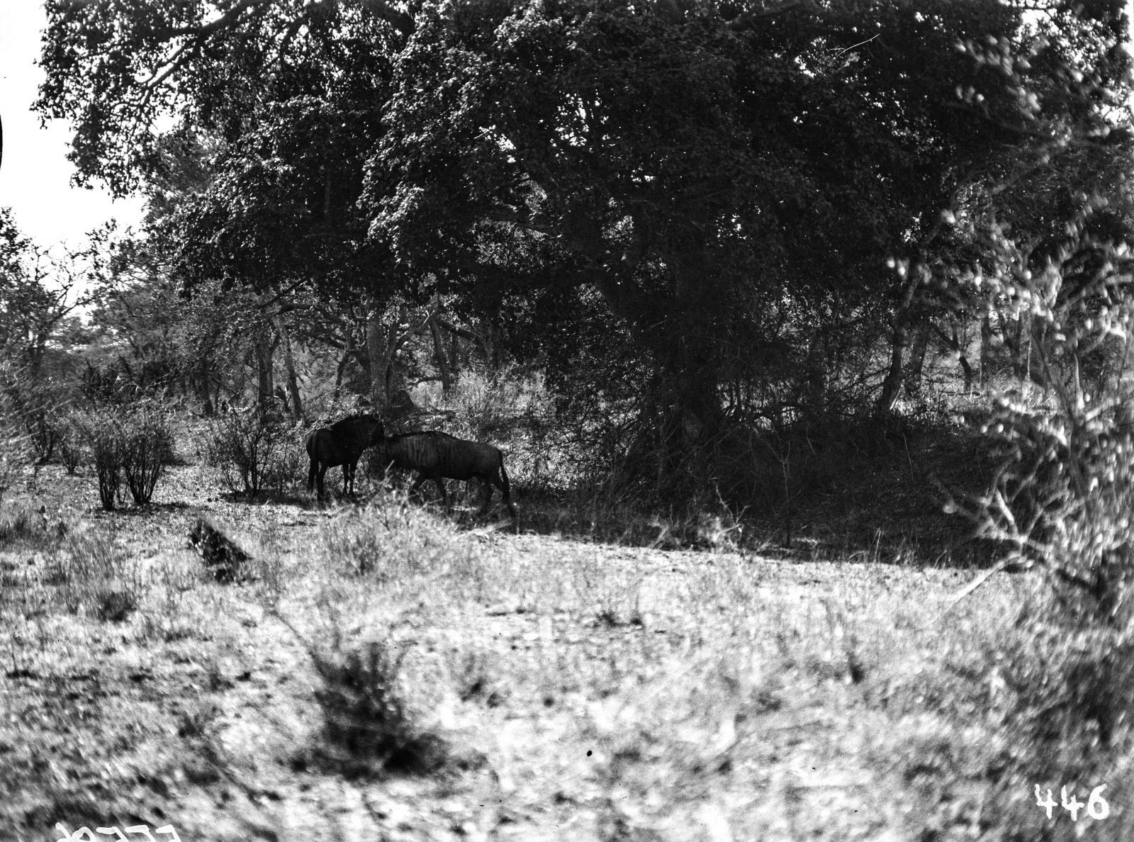 Национальный парк Крюгера. Гну ищут убежище от солнца в тени дерева