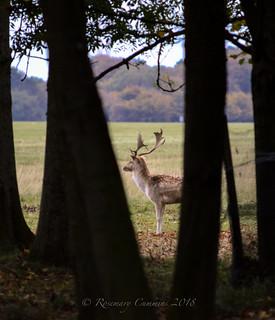 Phoenix Park Deer