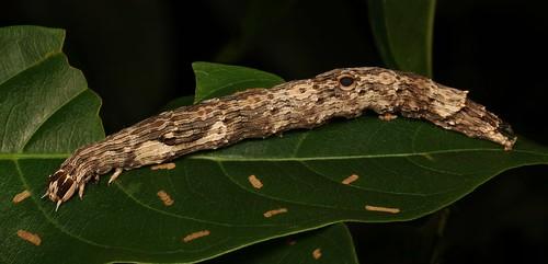 Noctuoid Moth Caterpillar (Thyas sp., Erebinae, Erebidae)