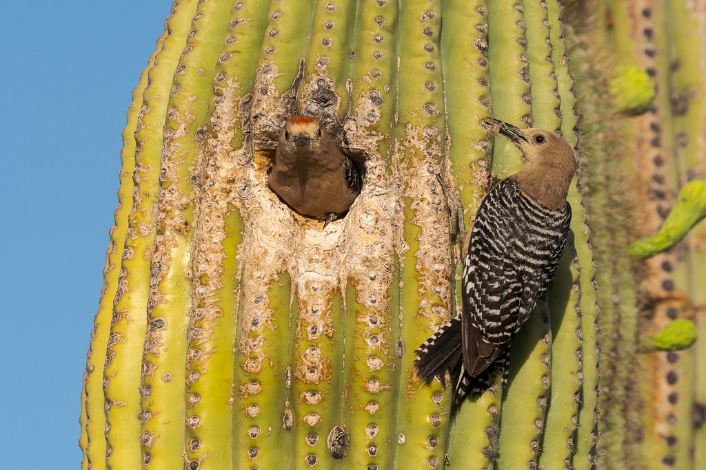 A male Gila woodpecker prepares to leave the nest in a saguaro cactus as the female waits outside with a spider in her beak