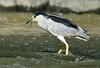 Bihoreau gris / Black-crowned Night-Heron by anjoudiscus