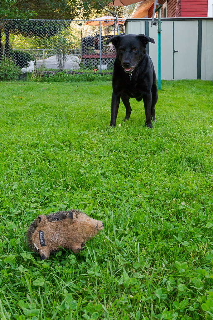 Our dog Ellie stares at her toy baby hedgehog that she tossed at my feet as we play in the grass in our backyard in Portland, Oregon