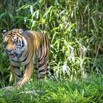 Tiger IV
