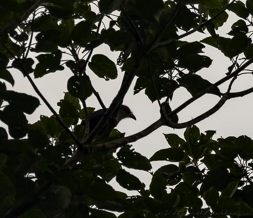 2018 august2018 bwcpl badlight beautifulbirds bird birdwatching birding birdinginthewild birdsinthewild blackstone3stopnd blackstone6stopnd blackstonefilters breakthroughphotography breakthroughphotography2stopgnd breakthroughphotography3stopgnd breakthroughphotographyfilter canon canon7dmkii closerange cottoncarrierg3 dawn dawntilldusk ef100400f4556isii ef100400mmf4556lisiiusm ef1635f4lis foggylens forest goldenhour hide humid kesslerkwik lowlight my malaysia novoexplora novoexploramp20 novomonopod pristine promediageartr424lpmgprostix rainforest sachtlerfsb8t sunrise sunset toughlight trek weekendtrips wild wildbirds wildlife winecountrycamera winecountrycameracpl winecountrycamerafilters wildlifewildlifeperfectionwildlifecaptureswildlifephoto wildlifewildlifeperfectionwildlifecaptureswildlifephotographyanimalfanaticswildlifeseekersnaturephotographywildlifephotographynatgeowildwildlifeinspiredwildlifecentral malkoha greenbilledmalkoha