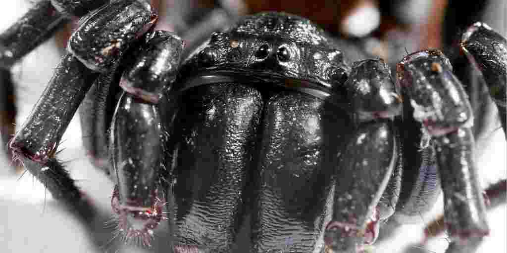 Le venin d'araignée un puissant tueur du cancer
