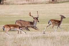 Deer - Holkham Hall