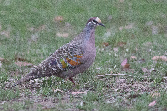 Common Bronzewing - male