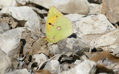 Clouded Yellow (Colias croceus)