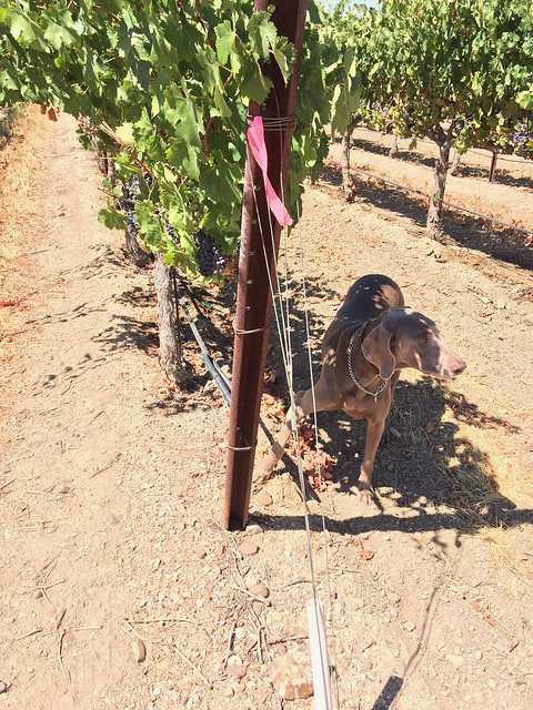 Vegas in the Cab Franc vines at Plummer Vineyard, Paso Robles, CA
