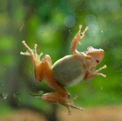Wood Frog PA150073