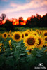 September Sunflower Sunset by Jim Crotty