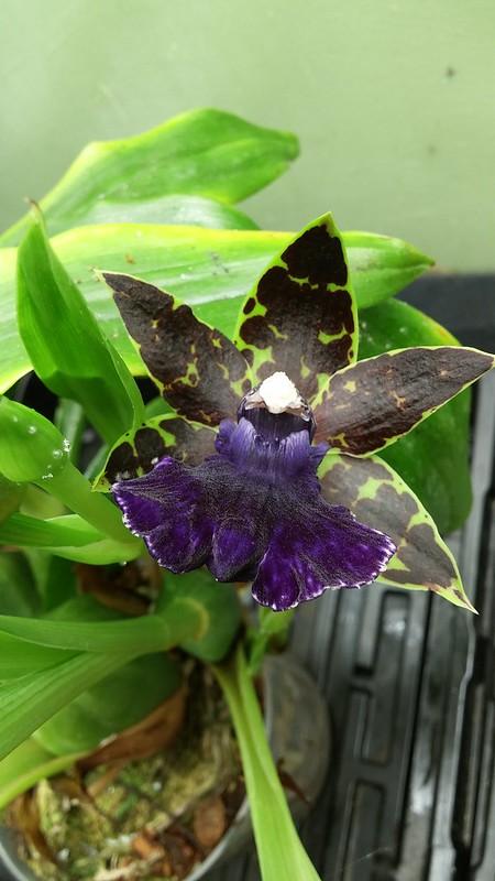 Les orchidées chez Sougriwa - Page 8 44930277212_3dd74511ed_c