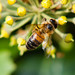 Ivy flower with visiting hoverfly