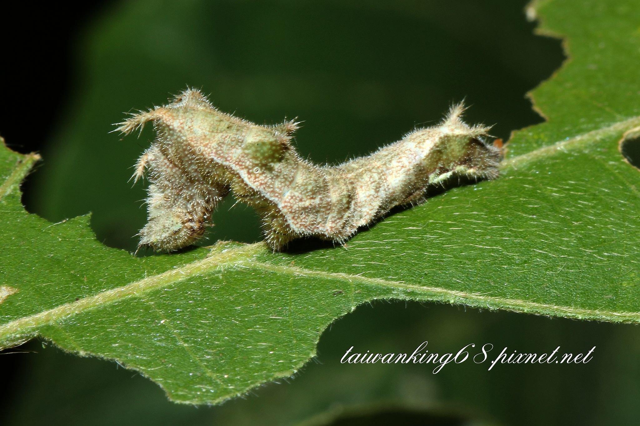 琉球三線蝶幼蟲