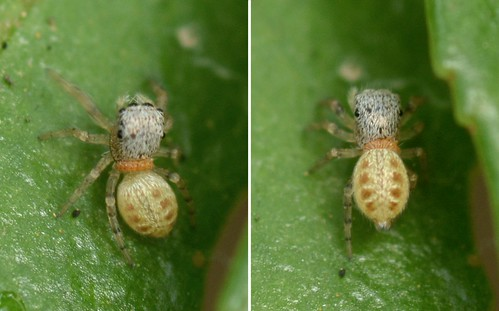 Jumping Spider carrying a passenger - a mantidfly larvae