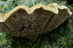 Velvet Tooth
