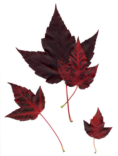 Scan of maple leaves turning red in October in Vancouver