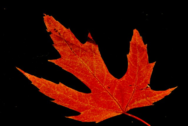 Autumn is also a fake maple red/orange leaf