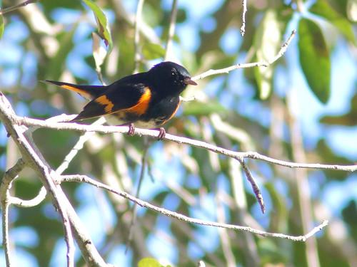 American Redstart male 04-20181001