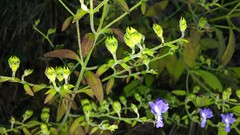 2018-10-02_03-02-49 Forked Bluecurls blooming (Trichostema dichotomum), Rts. 4 and 509, Broomes Island Quad, Calvert County, MD, 2018_1002