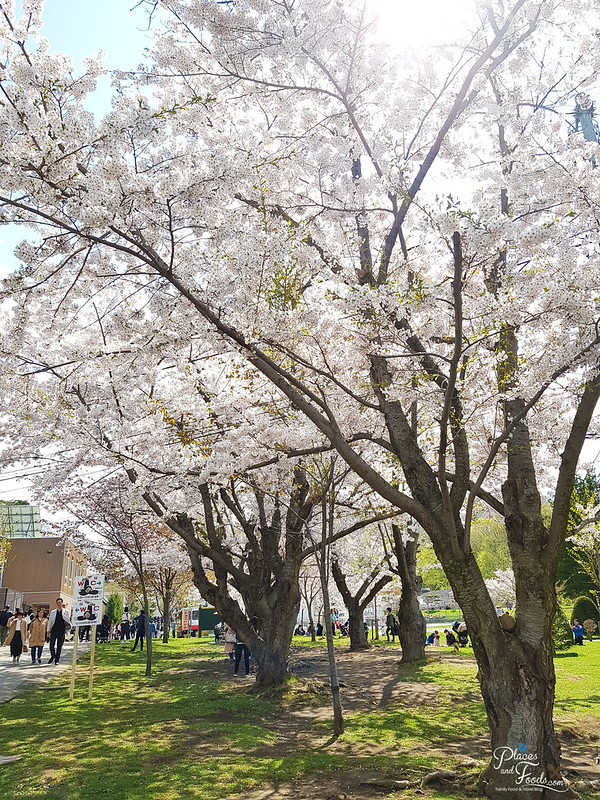 sapporo maruyama zoo sakura trees