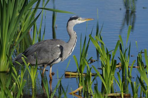 wild nature wildlife rspbleightonmoss lancashire bird greyheron ardeacinerea