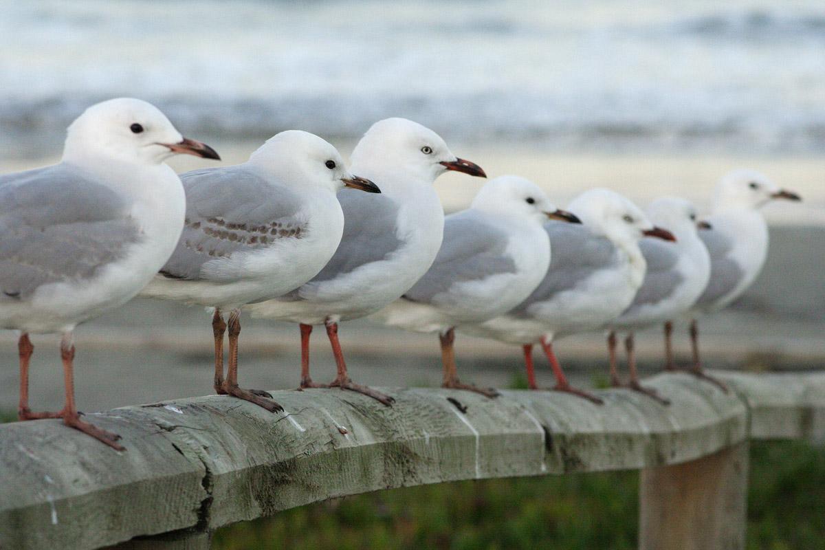 Red-billed gulls (Chroicocephalus novaehollandiae scopulinus) at Brighton Beach, New Zealand. Photo taken by Daniel Gammert.