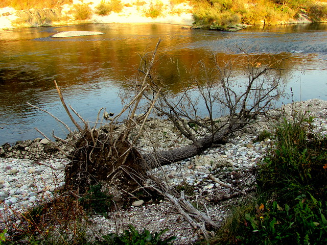 Uprooted and fallen