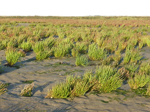Marsh samphire field at Boschplaat Terschelling