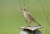 Brachpieper - Tawny pipit - Fâsă de câmp - Anthus campestris