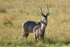 Waterbuck in Zimbabwe.