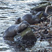 Otters, River Wharfe near Bolton Abbey, Yorkshire
