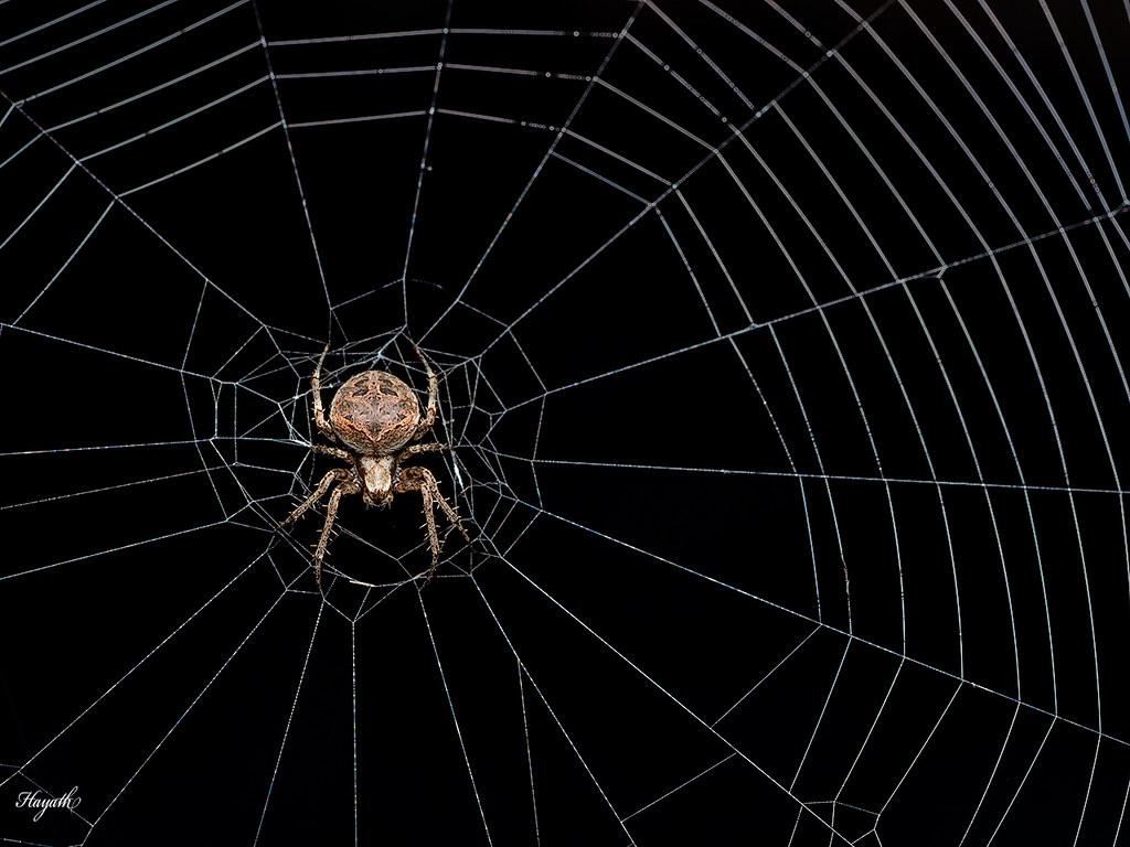 Neoscona with web