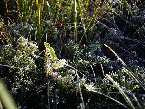 Frost-Blumen
