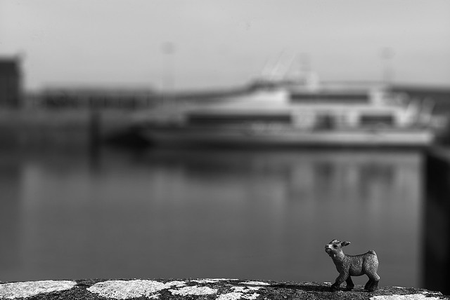 baby goat waits for the ferry on Inishmore