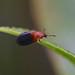 Red-shouldered Ham Beetle --- Necrobia ruficollis