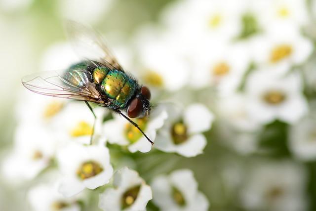 Green Bottle Fly on Sweet Alyssum...