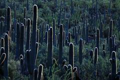 Arizona:  Cactus Forest Aglow