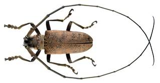 Thestus philippensis (Schwarzer, 1929)  Male