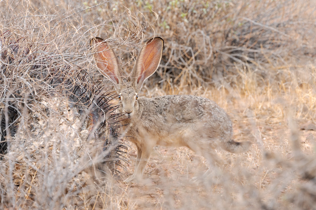 A black-tailed jackrabbit looks directly at me as it is mostly obscured in the desert scrub, the black tips on its ears clearly visible, taken on the Apache Wash Loop Trail in Phoenix Sonoran Preserve in Phoenix, Arizona
