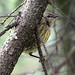 Peekaboo Warbler
