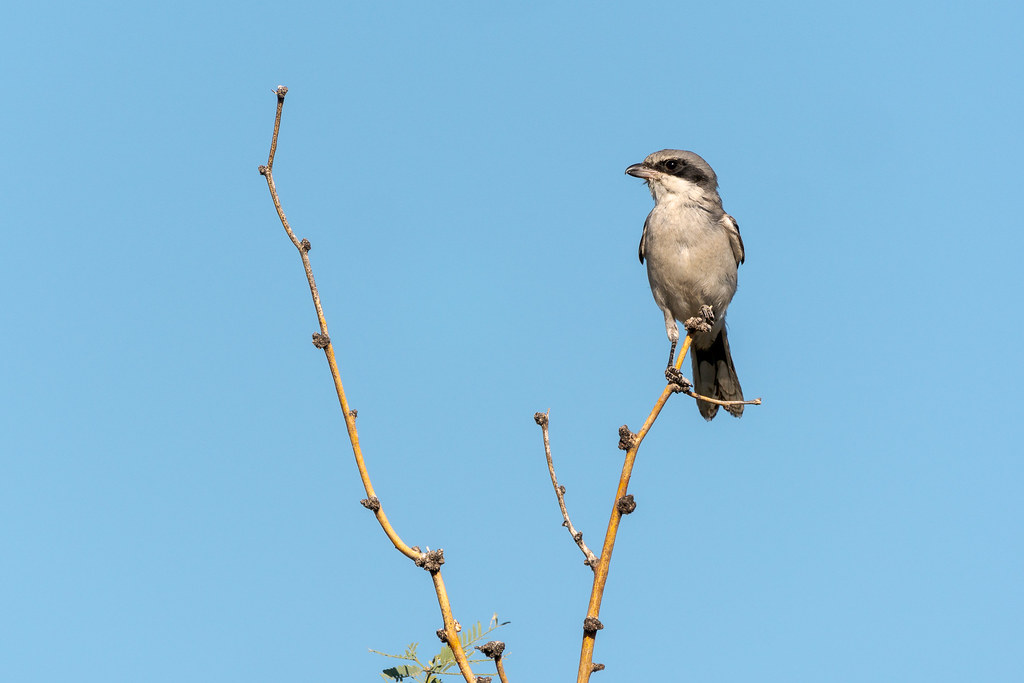 A loggerhead shrike perches in a tree along an off-map trail near Granite Mountain in McDowell Sonoran Preserve in Scottsdale, Arizona