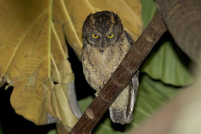 Ryukyu Scops Owl (Otus elegans)