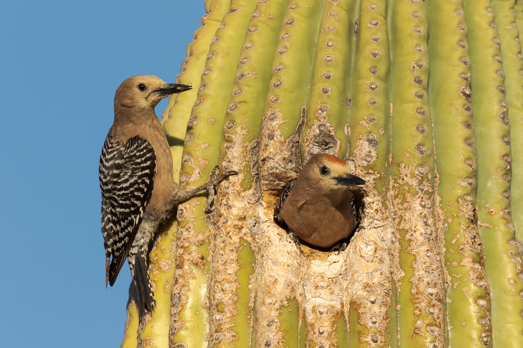 A female Gila woodpecker brings a spider to the nest in an old saguaro as the male prepares to leave  near an Off-map Trail in McDowell Sonoran Preserve