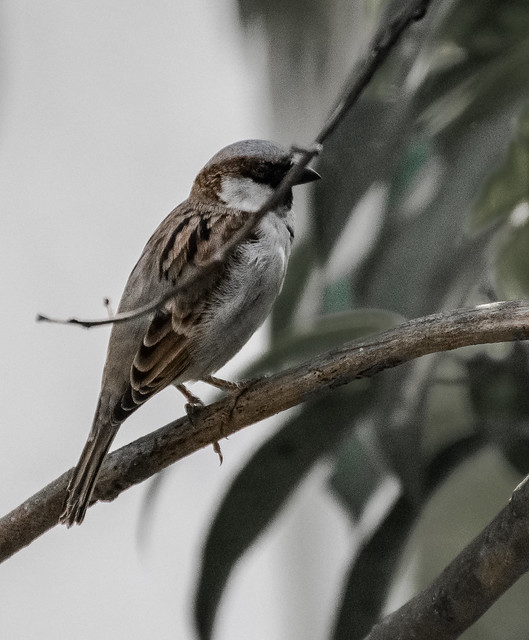 House Sparrow 2, Nikon D5300, AF-S VR Zoom-Nikkor 70-300mm f/4.5-5.6G IF-ED