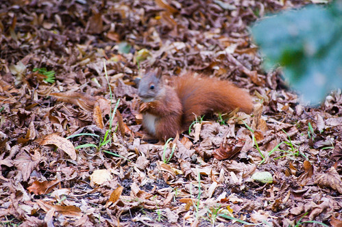 Red squirrel among fallen leaves