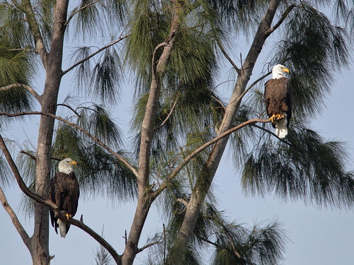 Bald Eagles - Pride and Jewel 01-20181007