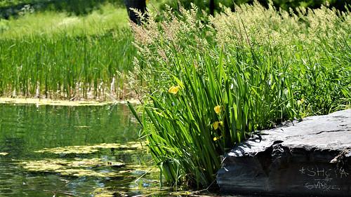 Pond Bits (Parc La Fontaine) I