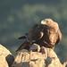 Aguila real (3).. by l.Acebes (Gracias-Thanks + 1.000.000 Vistas-views)