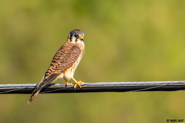 American Kestrel (Northern, female) DSC_5265
